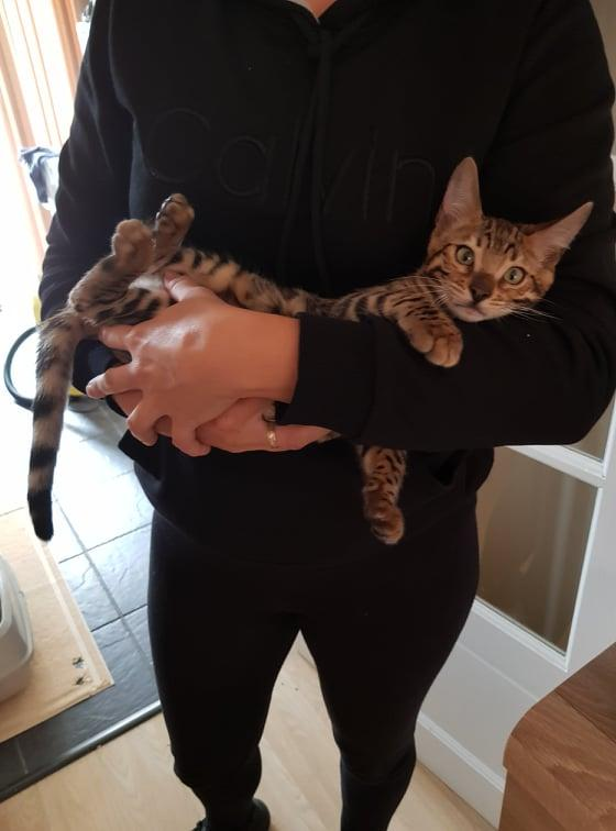 Image 8 of Bengal kittens 2 females and 1 male