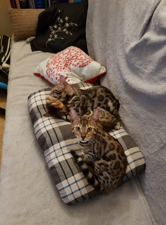 Image 9 of Bengal kittens 2 females and 1 male
