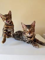 Image 10 of Bengal kittens 2 females and 1 male