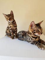 Image 11 of Bengal kittens 2 females and 1 male
