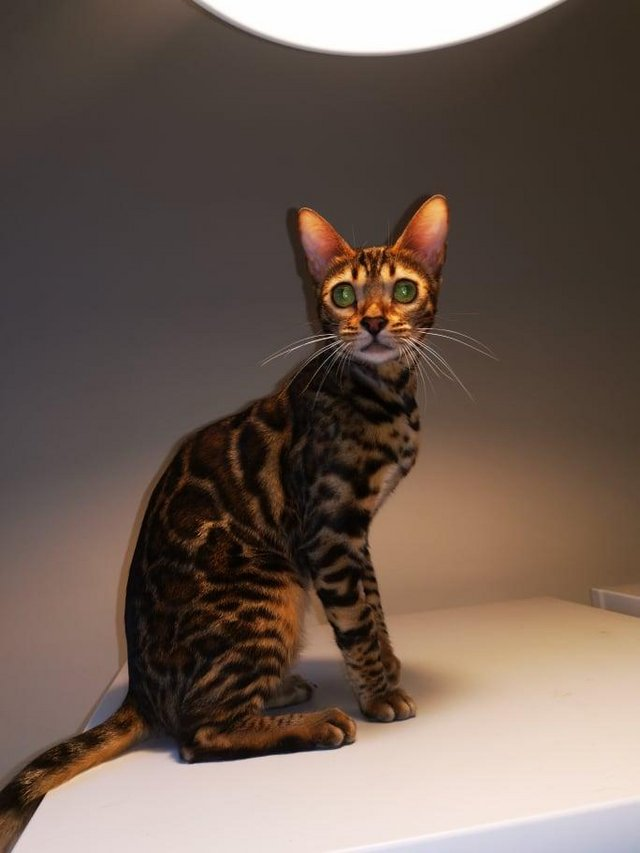 Preview of the first image of Bengal kittens 2 females and 1 male.