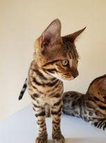 Image 12 of Bengal kittens 2 females and 1 male