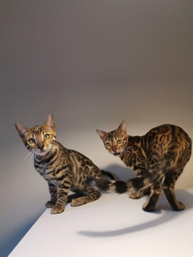 Image 13 of Bengal kittens 2 females and 1 male