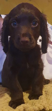 Image 6 of Working cocker spaniel puppies
