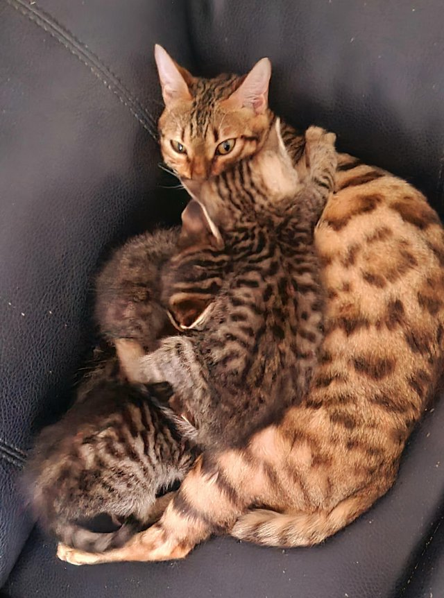 Image 12 of Beautiful Bengal kittens ready to go NOW