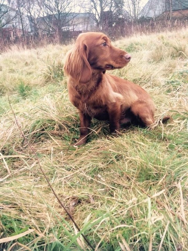 Image 7 of Working cocker spaniel puppies