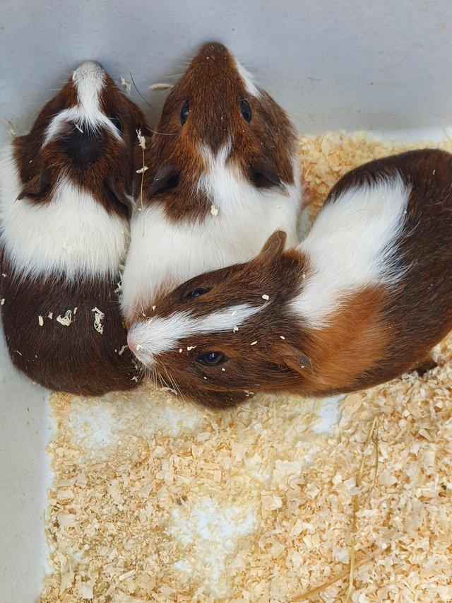 Image 4 of 8-12 week old baby boar guinea pigs ready now 7 available