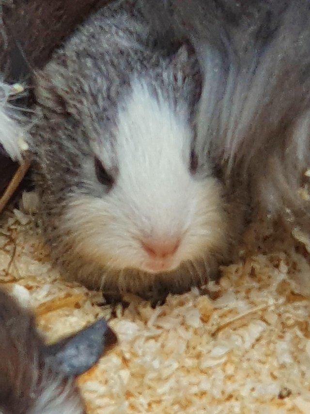 Image 5 of 8-12 week old baby boar guinea pigs ready now 7 available