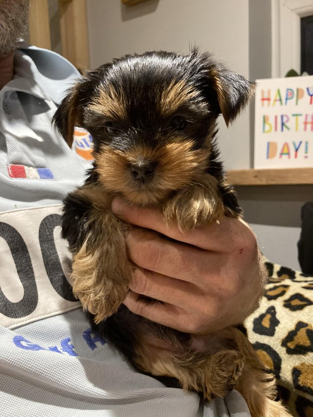 Preview of the first image of Pedigree Yorkshire Terrier Puppies (one little boy availabl).