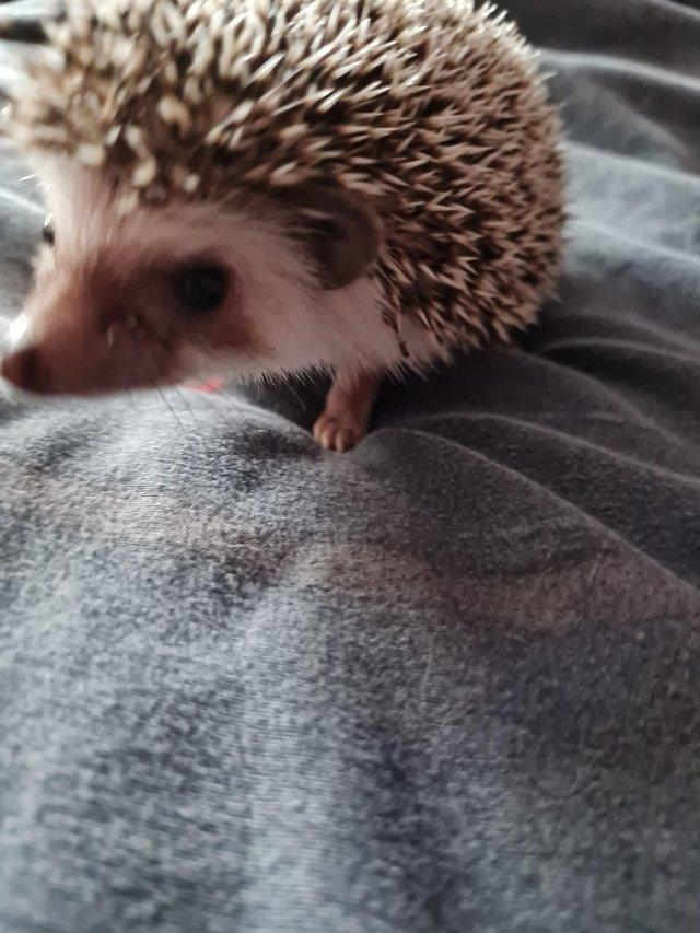 Preview of the first image of African pygmy hedgehogs Beautiful pinto babies.