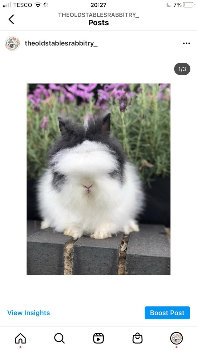 Image 7 of Lionheads forsale bucks and does