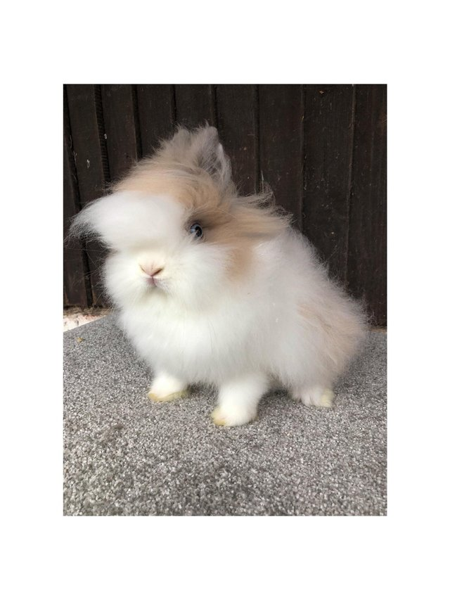 Image 8 of Lionheads forsale bucks and does
