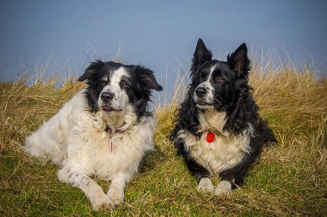 two Border Collies sat on grass