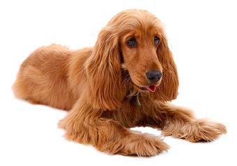 English Cocker Spaniel Dog Breed Guide Preloved Uk