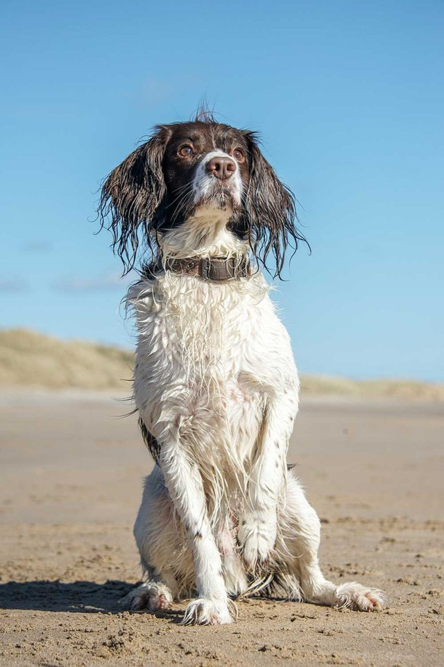 English Springer Spaniel on the beach