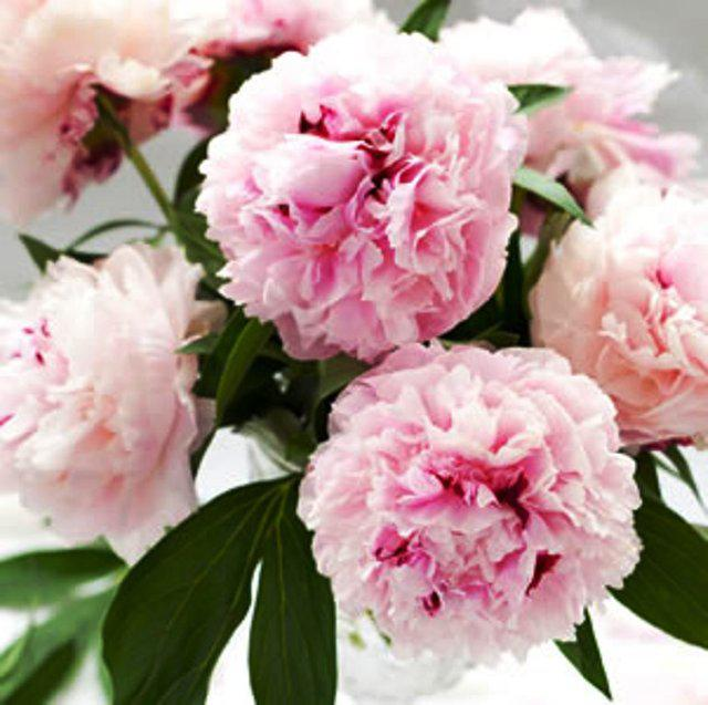 On trend | Peony seeds for sale on Preloved.