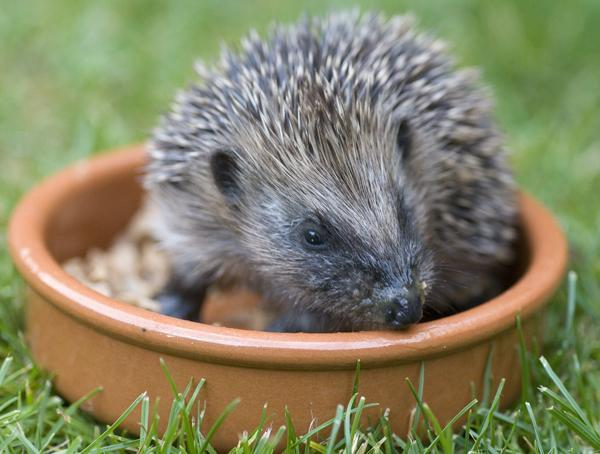 small hedgehog in a food bowl in the garden