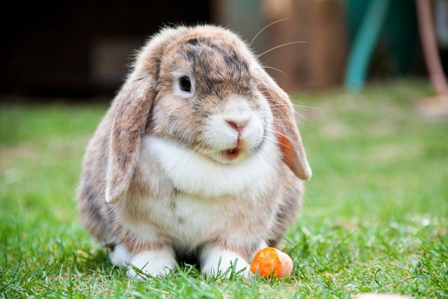 lop eared bunney eating a carrot