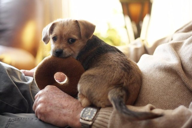 puppy on owners lap with toy