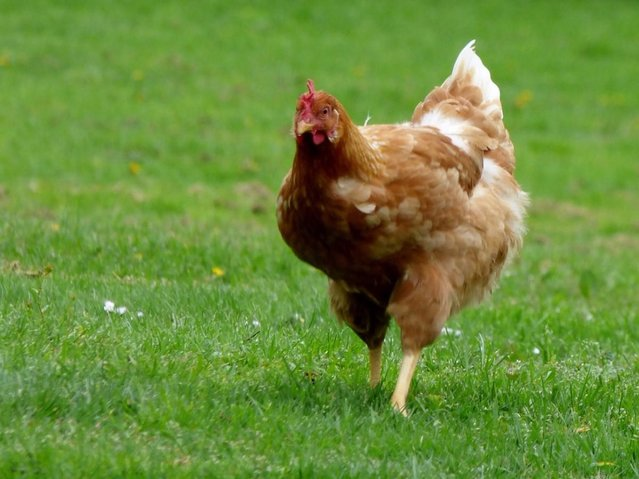 chicken out on lawn