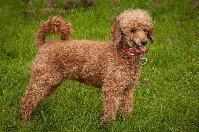 Poodle Dog Breed Guide Preloved Uk
