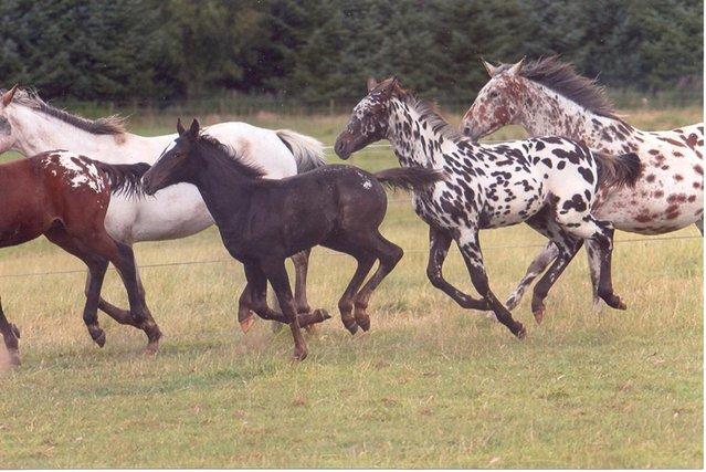 Appaloosas running