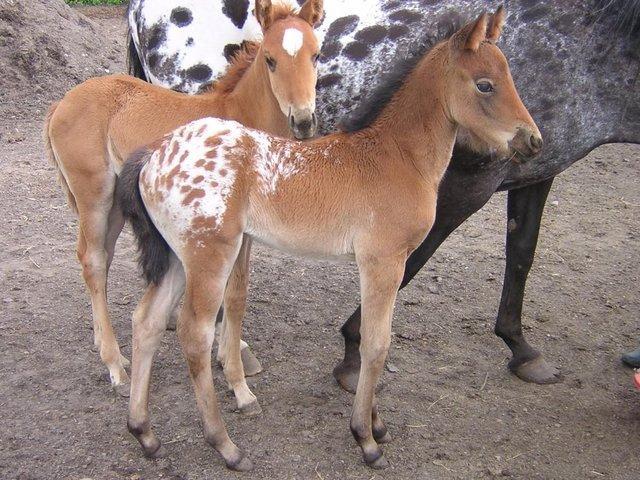 appaloosa foals