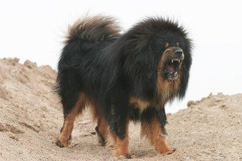 Tibetan Mastiff Price Uk La Ceinture Post Accouchement Chicco Mammy